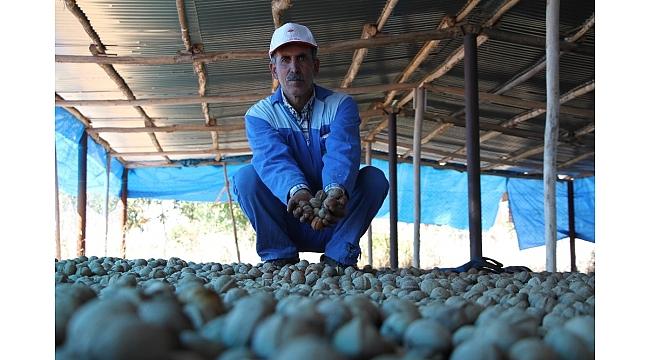 Elazığ'da ceviz üretimi yüzde 100 arttı, yıllık 4 bin tona yaklaştı